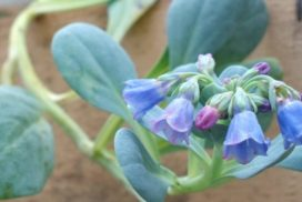 detail de fleurs huitre vegetale - mertensia maritima - feuille huitre - plante huitre