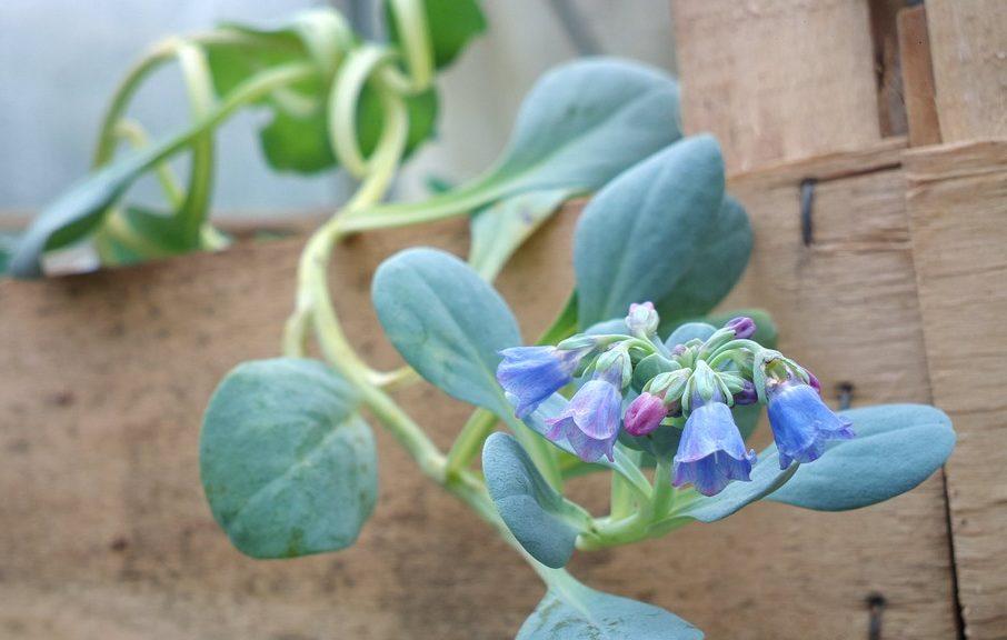 Fleurs-Huître végétale-mertensia-maritima-à la serre ô délice de biganos