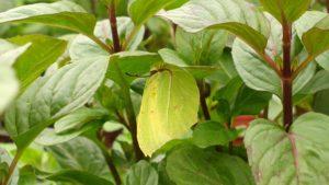 Papillon citron sur feuille de menthe