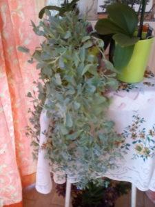 Photo de mertensia envoyée par une cliente : merci ;))